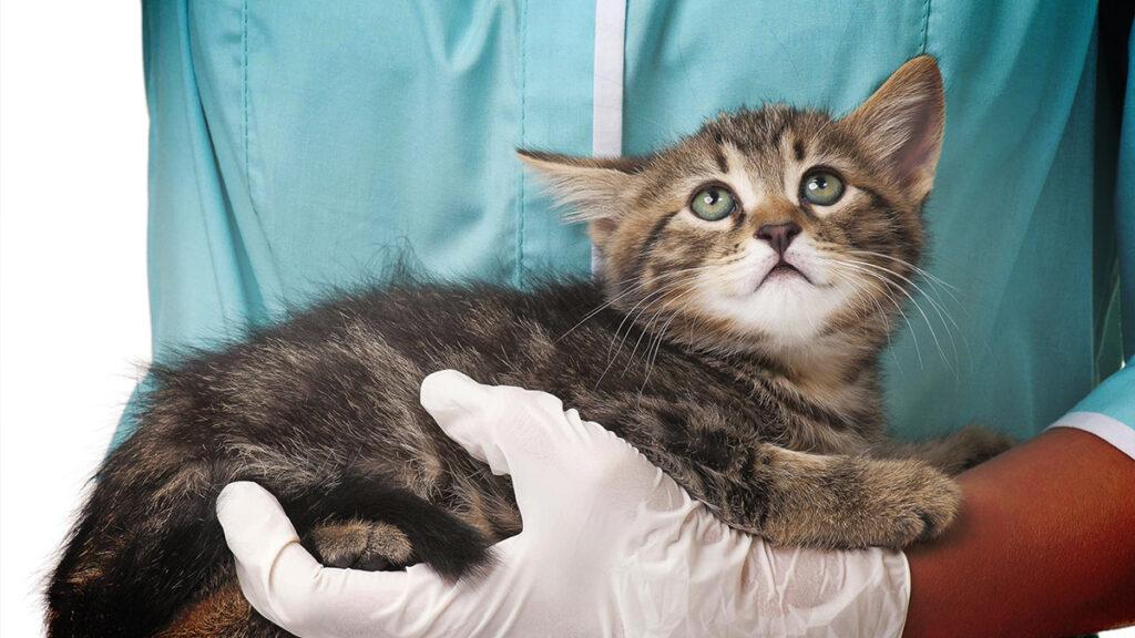 ВИЧ у кошек: симптомы, лечение. Можно ли заразиться ВИЧ от кошек?