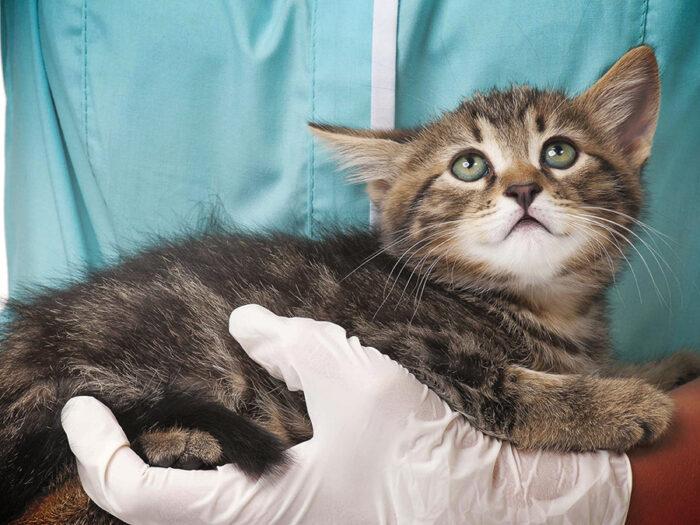 ВИЧ у кошек: симптомы, лечение.Можно ли заразиться ВИЧ от кошек?